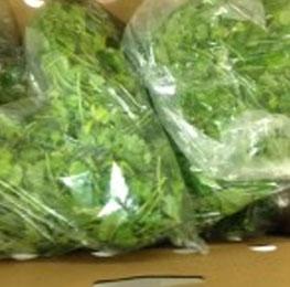 Cilantro, Fresh, 4/ 1 lb bags